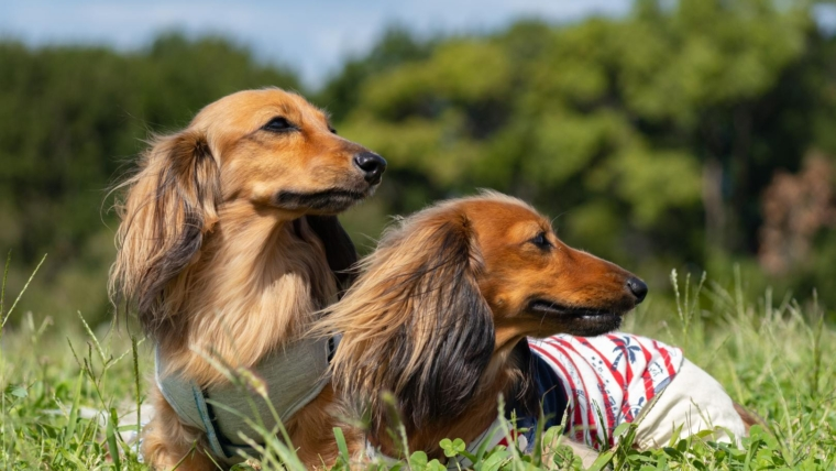 Pedigree diseases of dachshunds: symptoms and treatment