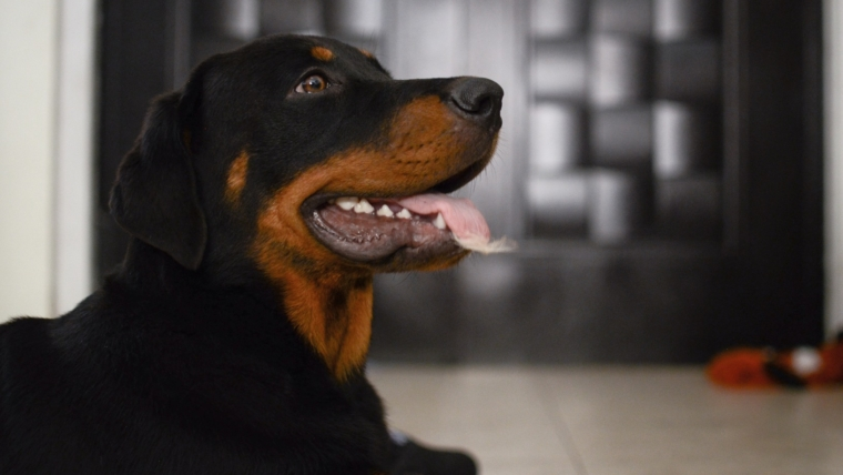 Diseases of Rottweilers and the lines of approach to them