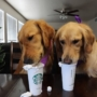 WHAT IS PUPPUCCINO? IS WHIPPED CREAM SAFE FOR DOGS?
